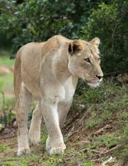 Magnificent Lioness