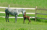 arabian mare and foal smooching