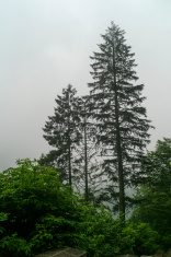 pine trees at foggy mountain of trabzon turkey