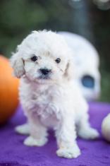 Little cockapoo puppy