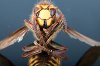 Died hornet