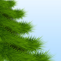 Background Christmas tree spruce