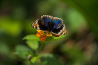 Butterfly, Blue Pansy (Junonia orithya wallacei)