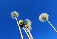 Dandelions steepe