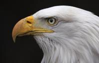 Bald Eagle Side View