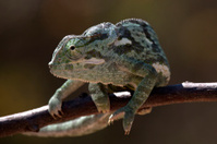 Chameleon Flap Necked (Chamaeleonidae)