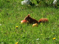 Red squirrel eating an apple close up