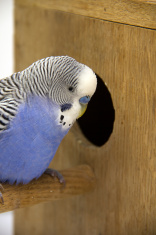the budgie is in a nest on white background