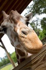 Giraffe Nose