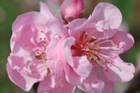 peach blossoms, Prunus persica, close up