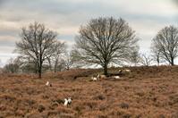 Landrace goats landscape
