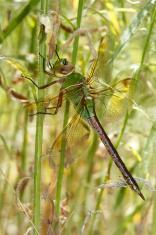 Green Darner Dragonfly Hiding in Vegetation