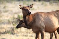 Wild Elk grazing in Yellowstone National Park