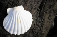Limestone Sea Shell