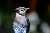 Blue Jay Close Up