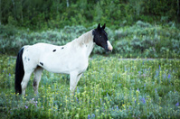 Strking Black and White Paint Horse In Summer Pasture