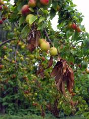 Plum tree disease 2