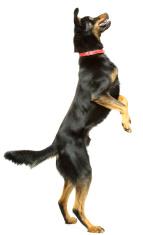 Dancing Dog