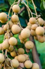 bunch of longan on the tree.