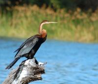 Birdlife in Africa: African Darter