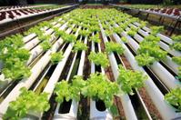 vegetables hydroponics.