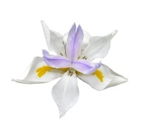 Dutch Lavender Iris Isolated on White