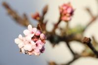 Flowering Viburnum x Bodnantense Dawn