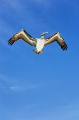 pelican on blue sky