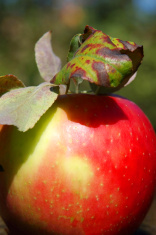 Red McIntosh Apple