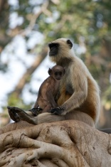 Mother cuddling baby langur