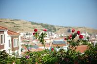 roses at bozcaada island of canakkale turkey