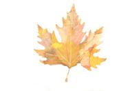 Colorful Autumn leaf - Save green