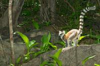 Ring-tailed lemur  (Lemur catta), wildlife shot, Madagascar