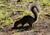 Grey squirrel Sciurus carolinensis silhouette tail extended