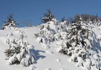 Heavy Snowfall on Cedar Trees