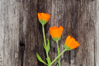 three calendula marigold flowers on old wooden plank