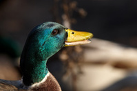 Duck male portrait