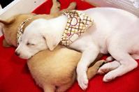 White Puppy sleeping.