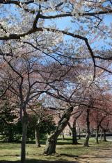 Washington DC, Tidal Basin, Cherry Blossoms Trees Spring