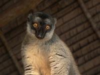 lemur under beach hut roof