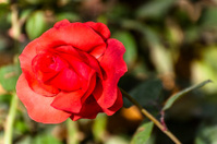 One red China rose