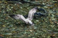 Herring Gull fishing
