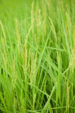 Flower of rice