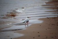 bird tern