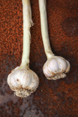 homegrown garlic bulbs