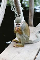 Titi Squirrel Monkey