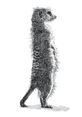 Meerkat Back