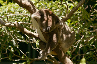 Koala bear sleeping in a tree,Queensland Australia.