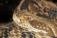 macro of a Diamond back rattlesnake