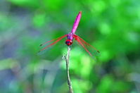 Beautiful wild pink dragonfly.